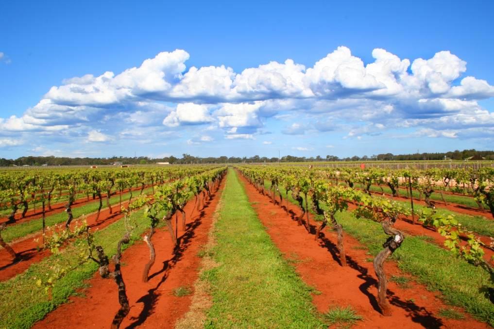 Coonawarra wijngaarden met kenmerkende Terra Rossa bodem