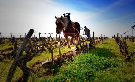 Paard bewerkt de wijngaarden van Domaine Huet