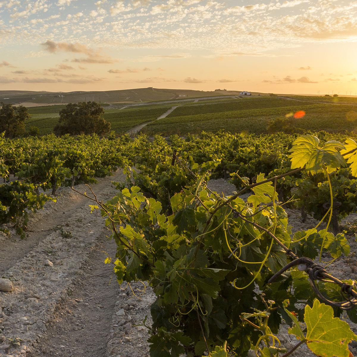 De Carrascal wijngaard