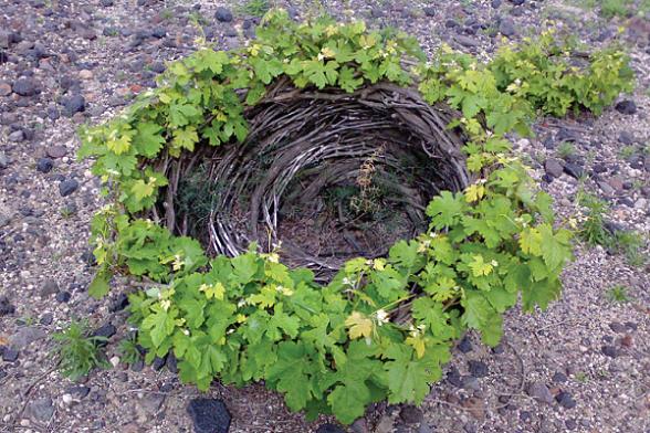 Santorini snoei van assyrtiko druiven