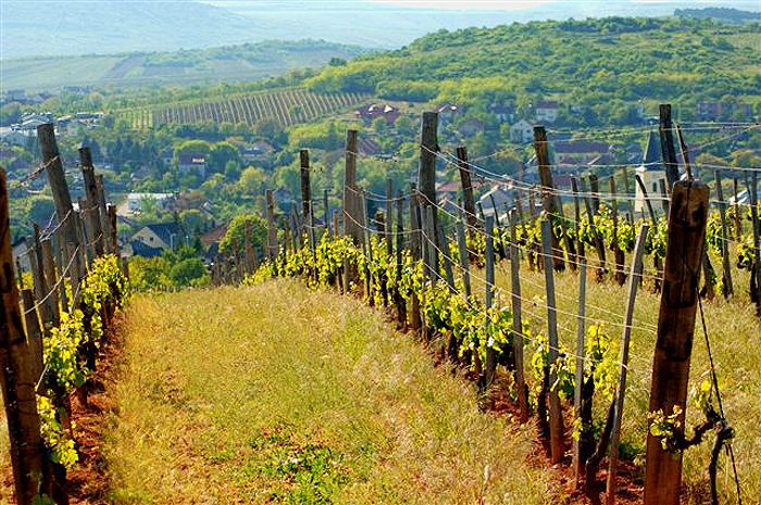 Tokaji Wijngaarden Hongarije