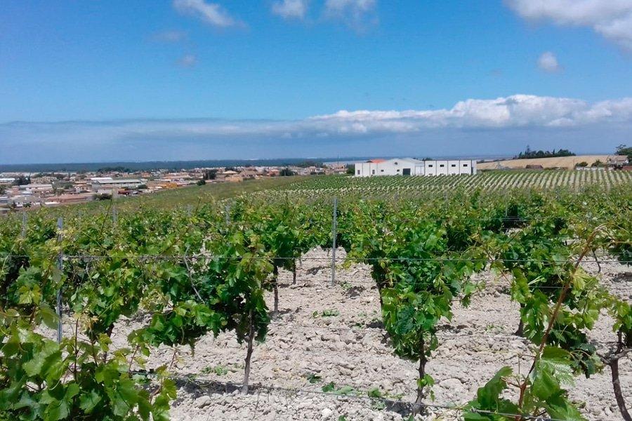 Albariza bodem in de wijngaard